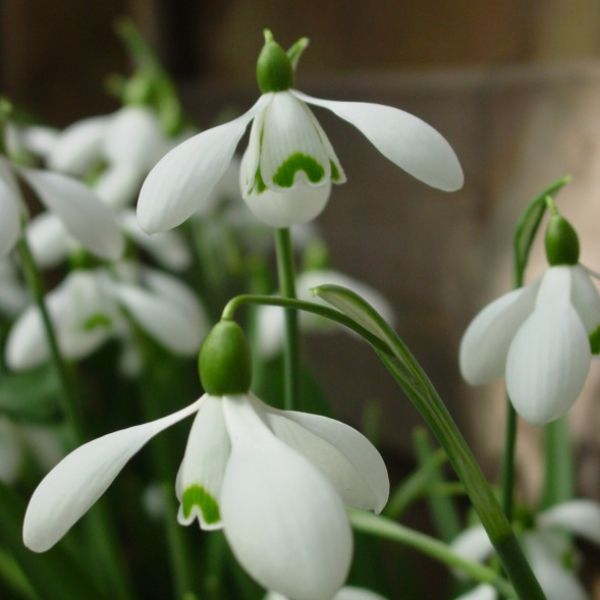 Galanthus-S-Arnott-Imperial-Group6